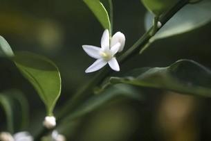 キンカンの白い小花の写真素材 [FYI04861790]