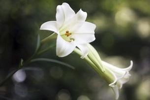 山野草・テッポウユリの花の写真素材 [FYI04861791]