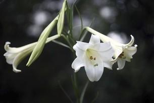 山野草・テッポウユリの花の写真素材 [FYI04861793]
