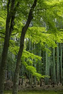 地蔵院 竹林の写真素材 [FYI04861878]