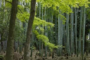 地蔵院 竹林の写真素材 [FYI04861879]