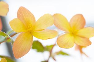 ベゴニアの花の写真素材 [FYI04862108]