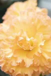 ベゴニアの花の写真素材 [FYI04862109]