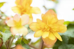 ベゴニアの花の写真素材 [FYI04862110]