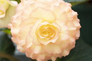 ベゴニアの花の写真素材 [FYI04862111]