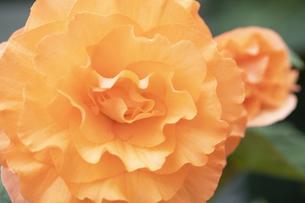 ベゴニアの花の写真素材 [FYI04862112]