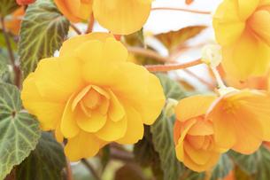 ベゴニアの花の写真素材 [FYI04862113]