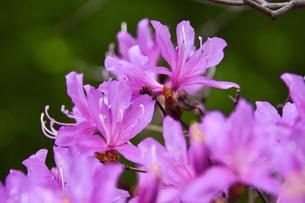 ミツバツツジ(ツツジ科ツツジ属)のピンク色の花の写真素材 [FYI04862163]