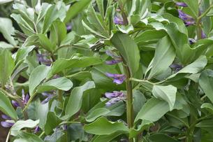 畑に植えられたソラマメの紫色の花と葉の写真素材 [FYI04862303]