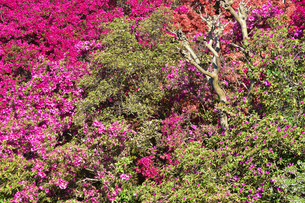 真っ赤に咲いたツツジ(ツツジ科)と新緑の木々の写真素材 [FYI04862310]