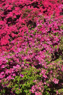 真っ赤に咲いたツツジ(ツツジ科)と新緑の木々の写真素材 [FYI04862311]