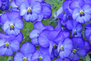 パンジー(スミレ科スミレ属)の紫色の花と葉の写真素材 [FYI04862328]