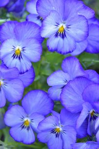 パンジー(スミレ科スミレ属)の紫色の花と葉の写真素材 [FYI04862329]