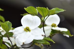 ハナミズキ(ミズキ科ミズキ属の落葉高木)の白色の花と枝と葉の写真素材 [FYI04862332]