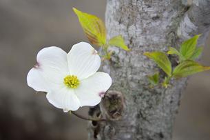 ハナミズキ(ミズキ科ミズキ属の落葉高木)の白色の花と枝と葉と幹の写真素材 [FYI04862333]