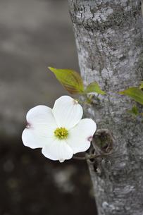 ハナミズキ(ミズキ科ミズキ属の落葉高木)の白色の花と枝と葉と幹の写真素材 [FYI04862334]