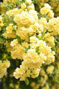 満開に咲いたバラ(バラ科バラ族)の黄色い花と葉の写真素材 [FYI04862337]
