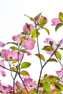 ハナミズキ(ミズキ科ミズキ属の落葉高木)の赤色の花と枝と葉の写真素材 [FYI04862341]
