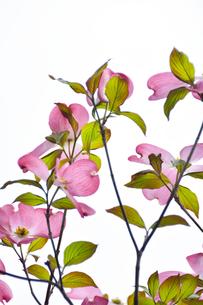 ハナミズキ(ミズキ科ミズキ属の落葉高木)の赤色の花と枝と葉の写真素材 [FYI04862342]