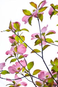 ハナミズキ(ミズキ科ミズキ属の落葉高木)の赤色の花と枝と葉の写真素材 [FYI04862345]
