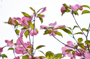 ハナミズキ(ミズキ科ミズキ属の落葉高木)の赤色の花と枝と葉の写真素材 [FYI04862347]
