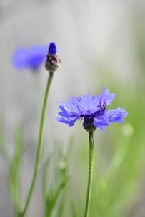 ヤグルマソウ(ユキノシタ科ヤグルマソウ属)の紫色の花の写真素材 [FYI04862349]