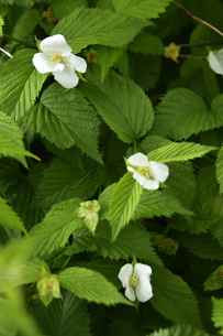 シロヤマブキ(バラ科シロヤマブキ属(落葉高木)の白色の花と葉の写真素材 [FYI04862350]