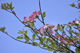 ハナミズキ(ミズキ科ミズキ属の落葉高木)の赤色の花と枝と葉と空の写真素材 [FYI04862357]
