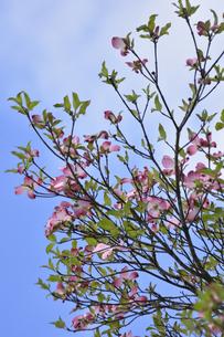 ハナミズキ(ミズキ科ミズキ属の落葉高木)の赤色の花と枝と葉と空の写真素材 [FYI04862358]