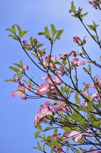 ハナミズキ(ミズキ科ミズキ属の落葉高木)の赤色の花と枝と葉と青空の写真素材 [FYI04862359]
