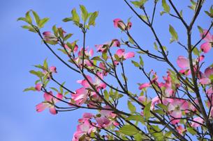 ハナミズキ(ミズキ科ミズキ属の落葉高木)の赤色の花と枝と葉と青空の写真素材 [FYI04862361]