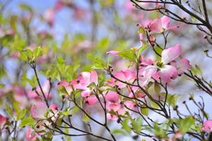 ハナミズキ(ミズキ科ミズキ属の落葉高木)の赤色の花と枝と葉と空の写真素材 [FYI04862362]