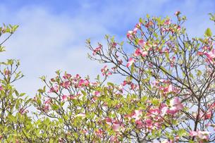 ハナミズキ(ミズキ科ミズキ属の落葉高木)の赤色の花と枝と葉と空の写真素材 [FYI04862368]