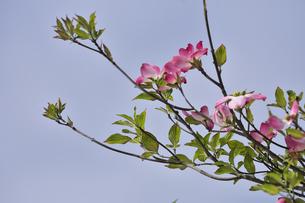 ハナミズキ(ミズキ科ミズキ属の落葉高木)の赤色の花と枝と葉と空の写真素材 [FYI04862370]