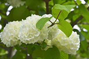 オオデマリ(スイカズラ科の落葉低木)の白い花と葉と枝の写真素材 [FYI04862400]
