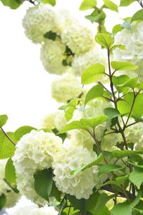オオデマリ(スイカズラ科の落葉低木)の白い花と葉と枝の写真素材 [FYI04862411]