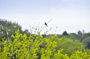 芽生えたばかりの新緑の枝に止まるホオジロ(スズメ目ホオジロ科)の写真素材 [FYI04862423]