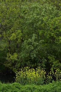 河岸に咲く菜の花と新緑の木々の写真素材 [FYI04862439]