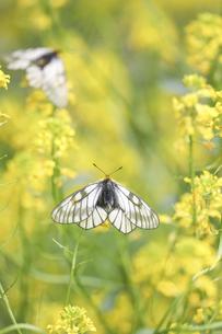菜の花にとまるウスバシロチョウの写真素材 [FYI04862499]