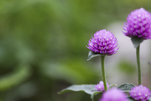 緑背景のセンニチコウの写真素材 [FYI04862502]