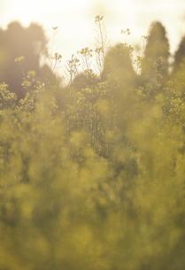 夕陽を浴びるセイヨウカラシナの写真素材 [FYI04862789]