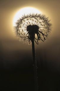夕日とタンポポの綿毛の写真素材 [FYI04862790]