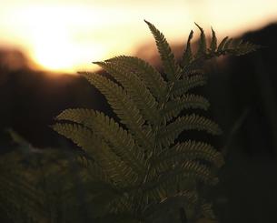 夕日とシダの写真素材 [FYI04862792]