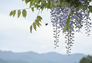 前田森林公園の藤棚の写真素材 [FYI04862795]
