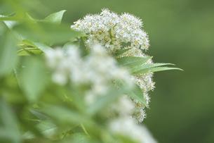 ナナカマドの花の写真素材 [FYI04862796]