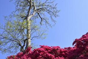 真っ赤に咲いたツツジ(ツツジ科)と新緑の大木と青空の光景の写真素材 [FYI04862920]