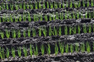 畑に植えられ並ぶネギ畑の苗の写真素材 [FYI04862932]