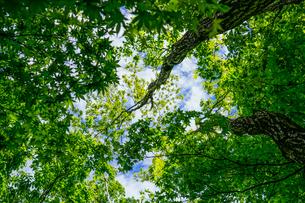 見上げる新緑の写真素材 [FYI04863223]