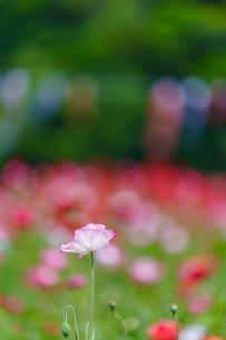 ポピーの花の写真素材 [FYI04863235]