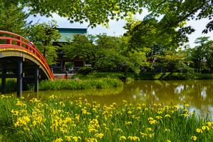 称名寺の太鼓橋と黄菖蒲の写真素材 [FYI04863251]